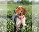 Puppy 10 Brittany