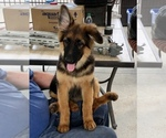 Puppy 1 German Shepherd Dog