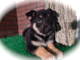 Collie-German Shepherd Dog Mix Puppy for sale in CHICAGO, IL, USA