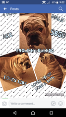 Bulldog Puppy For Sale in MOUNT VERNON, KY, USA