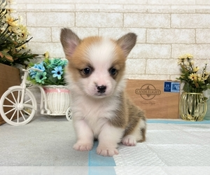 Pembroke Welsh Corgi Dog for Adoption in LOS ANGELES, California USA