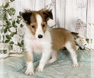 Shetland Sheepdog Puppy for sale in PENNS CREEK, PA, USA