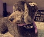 Small #21 Goldendoodle