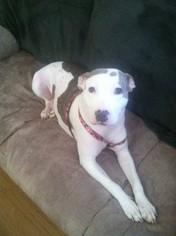 Diamond - Pit Bull Terrier / Labrador Retriever / Mixed (short coat) Dog For Adoption