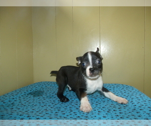 Boston Terrier Puppy for sale in PATERSON, NJ, USA