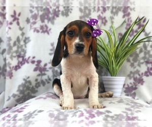 Beagle Dog for Adoption in LAKELAND, Florida USA