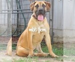 Beautiful Fawn Female Boerboel