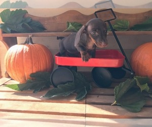 Dachshund Puppy for Sale in SANTA CLARITA, California USA