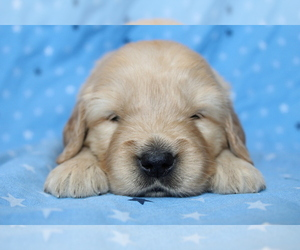 Golden Retriever Puppy for sale in CARMEL, IN, USA