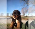 Small #21 Rottweiler