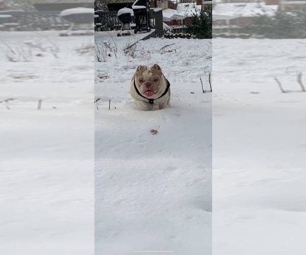Medium Photo #5 American Bully Puppy For Sale in CORLISS, PA, USA