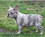 French Bulldog Puppy For Sale in KLEIN, TX, USA