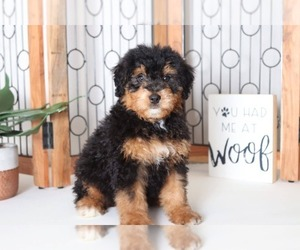 Bernedoodle Puppy for sale in NAPLES, FL, USA