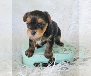 Yorkshire Terrier Dog for Adoption in ORCHARDS, Washington USA