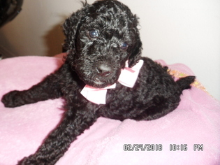 Poodle (Standard) Puppy For Sale in JACKSONVILLE, FL, USA