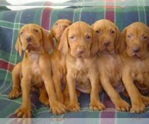 Vizsla Puppy for Sale in CANTON, Missouri USA
