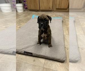 Boxer Puppy for Sale in SHELTON, Washington USA