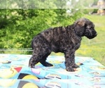 Small #39 Goldendoodle