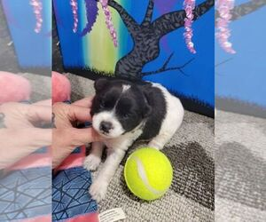 Poodle (Standard)-Shiba Inu Mix Puppy for sale in KENDALL, WI, USA