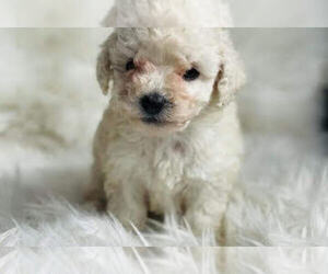 Maltipoo Dog for Adoption in HOLLYWOOD, California USA