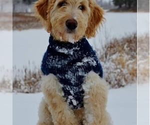 Goldendoodle Puppy for Sale in BEMIDJI, Minnesota USA