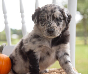 Aussiedoodle Puppy for Sale in FREDONIA, Kentucky USA