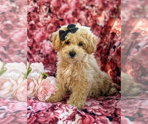 Bichpoo-Poodle (Miniature) Mix Puppy for sale in LINCOLN UNIV, PA, USA
