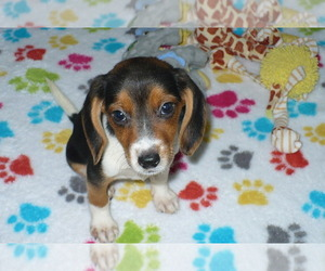 Beagle Puppy for sale in ORO VALLEY, AZ, USA