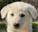 Small #2 German Shepherd Dog-Great Pyrenees Mix