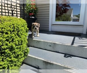 Olde English Bulldogge Puppy for sale in CRANSTON, RI, USA