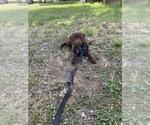 Small Australian Shepherd-Poodle (Miniature) Mix