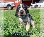 Puppy 4 Bluetick Coonhound