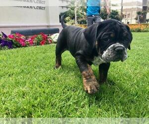 Olde English Bulldogge Puppy for sale in POWAY, CA, USA