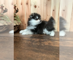 Pomsky Puppy for Sale in STAPLES, Minnesota USA