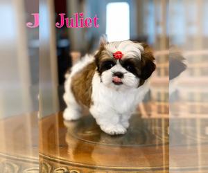 Shih Tzu Puppy for sale in SUGAR HILL, GA, USA