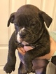 Olde English Bulldogge Puppy For Sale in JUDSONIA, Arkansas,