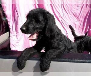 Labradoodle Puppy for Sale in VERGENNES, Illinois USA