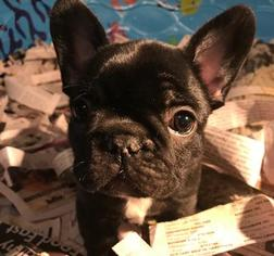 French Bulldog Puppy for sale in WEBSTER, NY, USA
