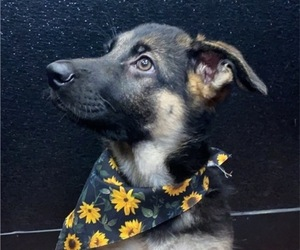 German Shepherd Dog Puppy for sale in APOPKA, FL, USA