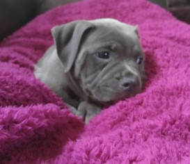 View Ad: American Bully Mikelands Puppy for Sale near Minnesota