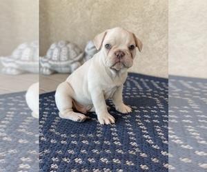 French Bulldog Puppy for Sale in PUEBLO, Colorado USA