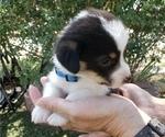 Puppy 3 Pembroke Welsh Corgi
