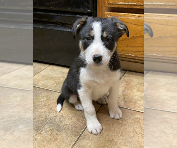 Medium Photo #1 Border Collie Puppy For Sale in AMERICAN CANYON, CA, USA