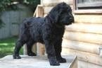 Black Russian Terrier Puppy For Sale in Chilliwack, BC, Canada