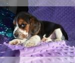 Small #13 Beagle