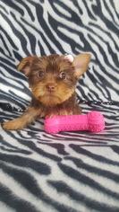 Yorkshire Terrier Puppy For Sale in HARRIMAN, TN