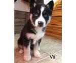 Small #7 Siberian Husky