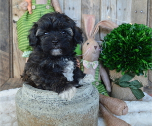 Poodle (Miniature)-Shorkie Tzu Mix Puppy for sale in HONEY BROOK, PA, USA