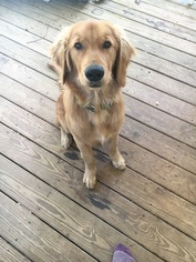 Golden Retriever Puppy For Sale in MARSHALL, NC