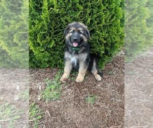 German Shepherd Dog Puppy for sale in SEATTLE, WA, USA